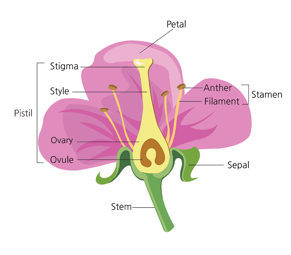 Parts of a Flower and Their Functions (With Diagram) | Green and ...
