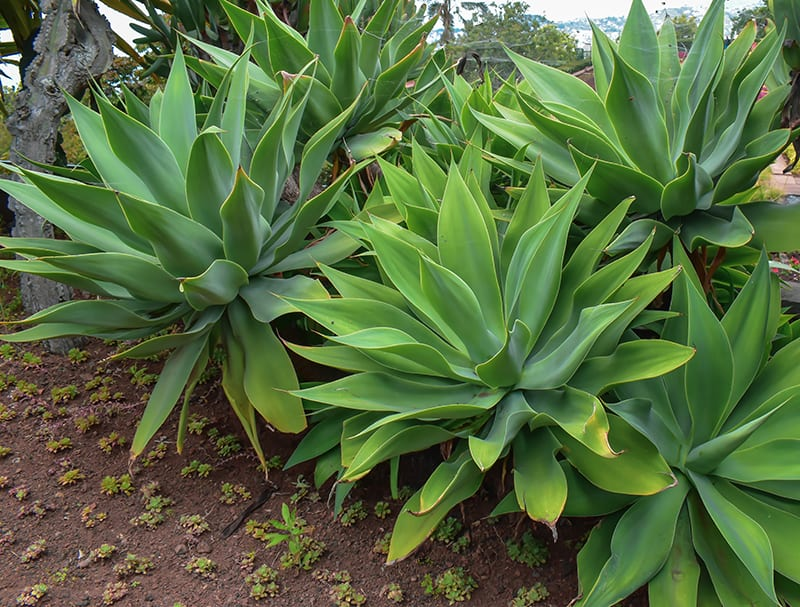 Agave Attenuata Fox Tail Agave Types Planting And Care Guide