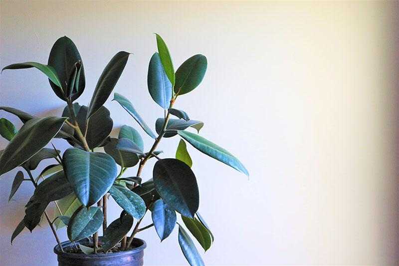 Rubber Plant Tips To Care For Ficus Elastica Trees Com