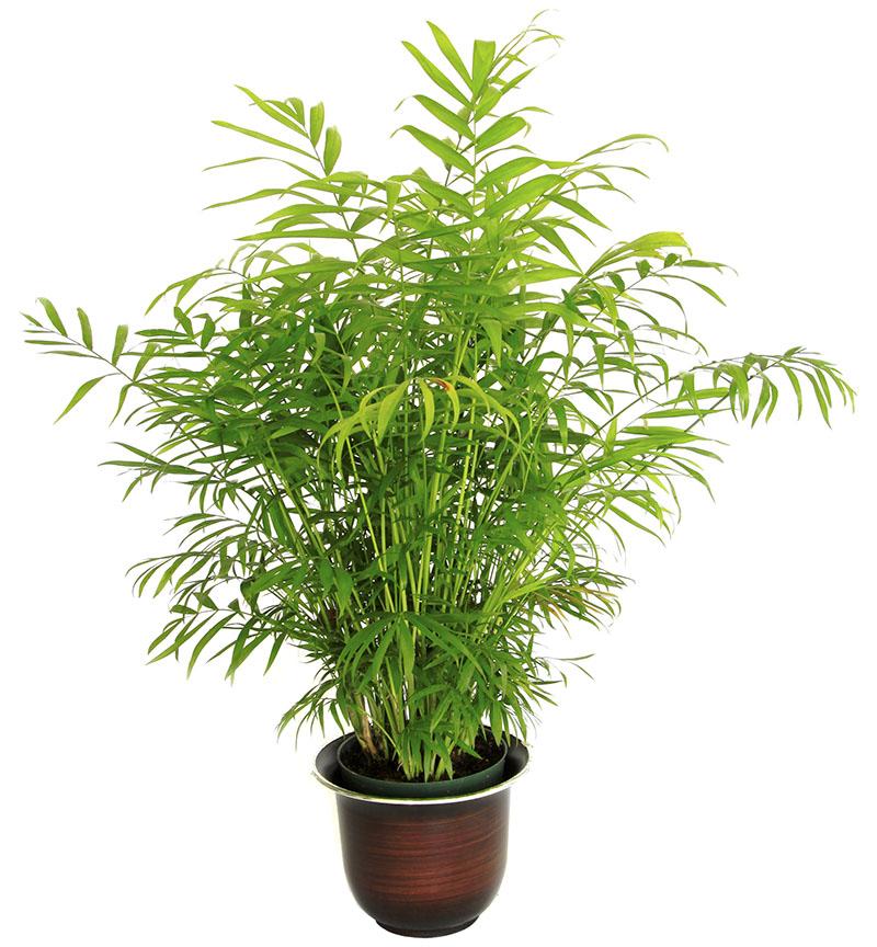 Bamboo Palm Chamaedorea Seifrizii Easy Growing Care Tips