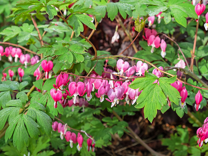 Bleeding heart plant, also known as Dicentra spectabilis or Lamprocapnos spectabilis