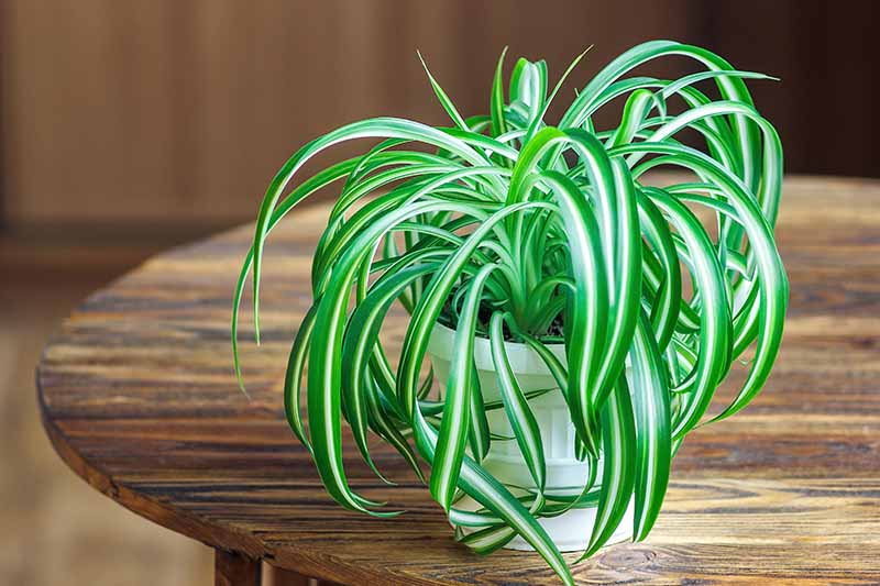 Spider Plant (Chlorophytum Comosum) - Types, Care and Growing Tips | Green and Vibrant