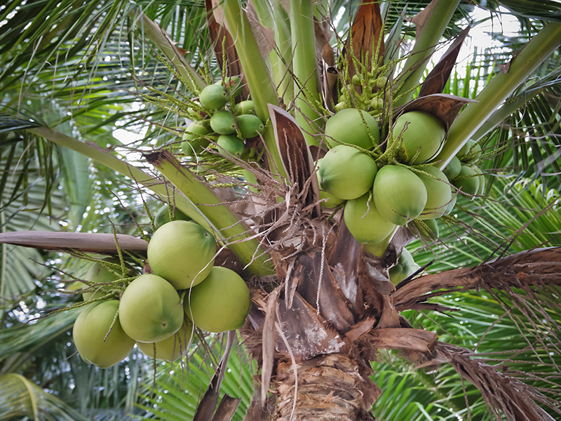 10 Different Types of Coconuts (Pictures and Facts ...