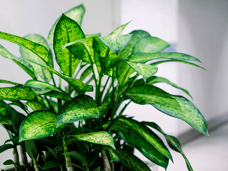 ffenbachia (Dumb Cane Plant) Facts, Growing, and Care ... on