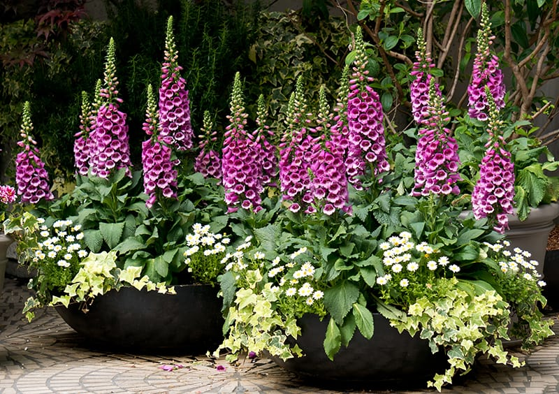 Foxglove flowers in pots