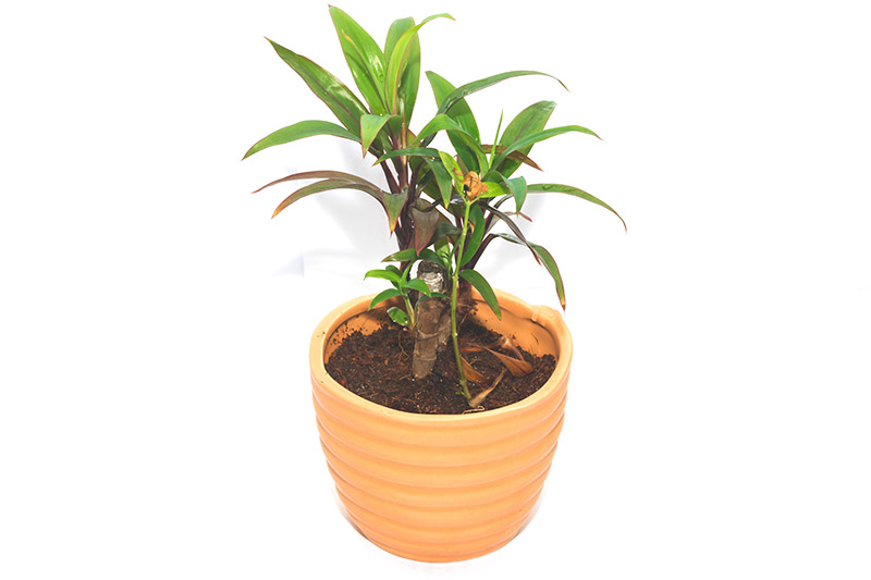 How To Care For A Hawaiian Ti Plant Cordyline Green