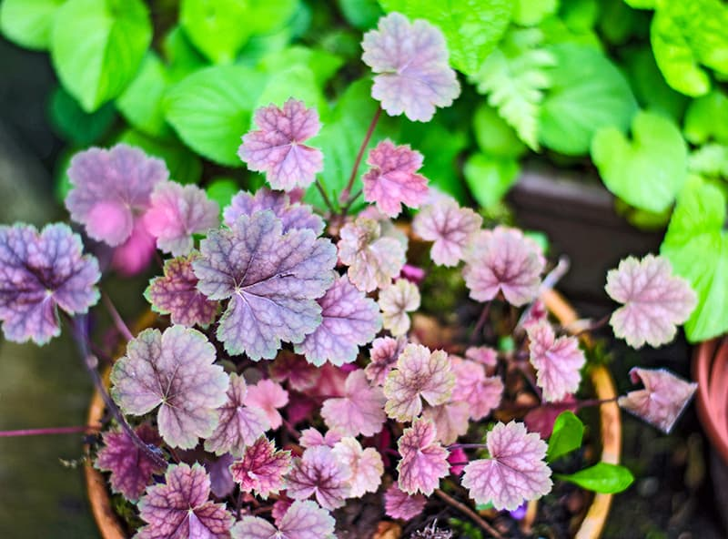 Heuchera plant with purple leaves in pot
