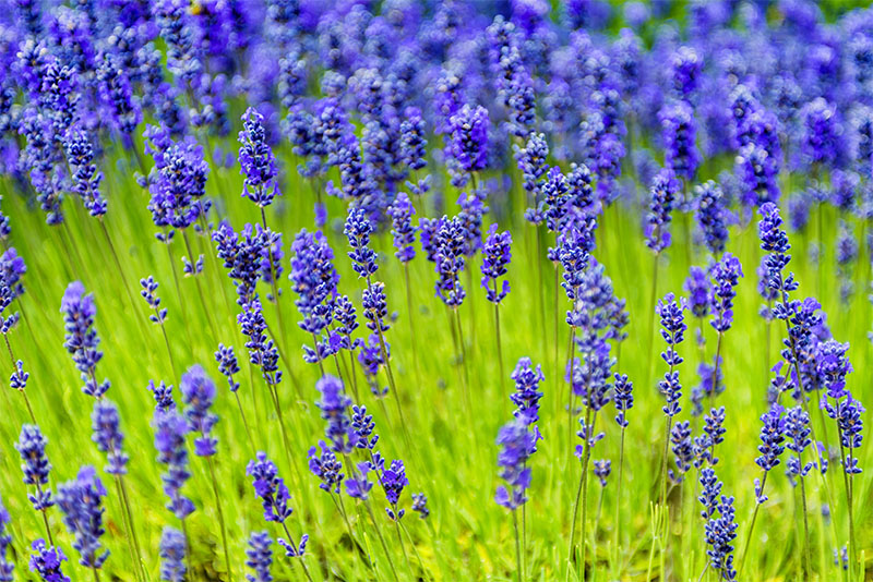 9 Types Of Lavender A Visual Guide Green And Vibrant