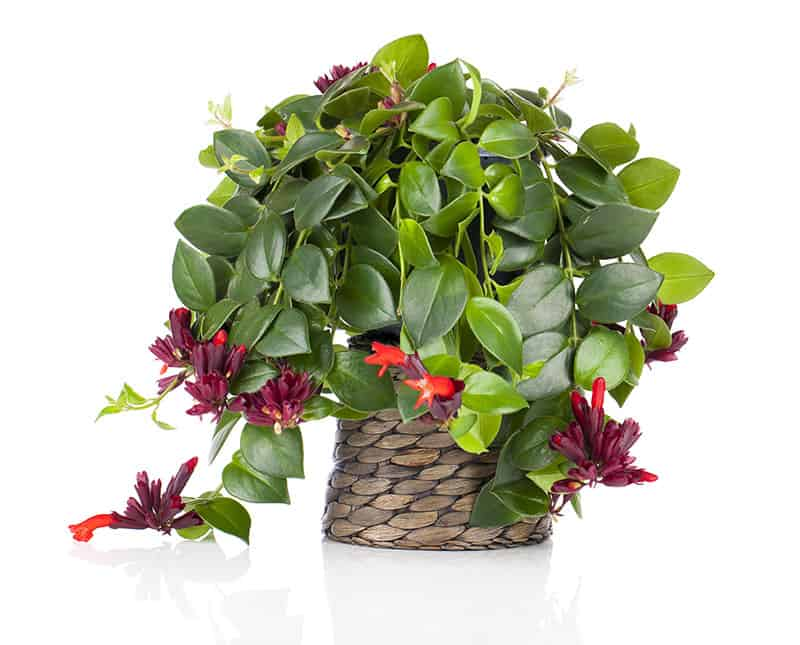 Growing A Lipstick Plant Tips On Caring For Aeschynanthus