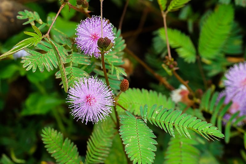 Mimosa Pudica - How to Care For The Sensitive Plant | Green ... on ficus elastica house plant, papaya house plant, coffea arabica house plant, ficus microcarpa house plant, hedera helix house plant, bacopa house plant, tamarind house plant, dracaena sanderiana house plant, tradescantia zebrina house plant, sida cordifolia house plant, mimosa plant moving, monstera deliciosa house plant, weed house plant, benefits of mimosa pudica plant, asparagus house plant, rose house plant, ginkgo biloba house plant,