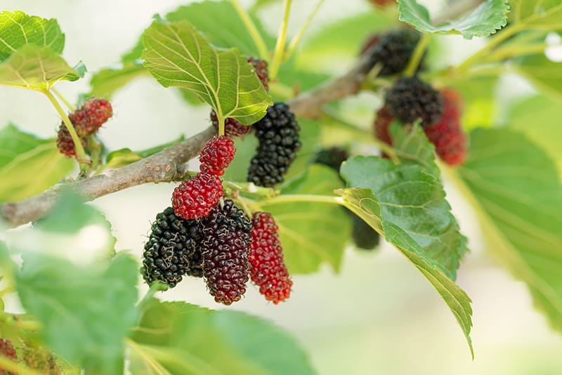 Mulberry Tree Growing And Caring Mulberry For Fruits Or Garden