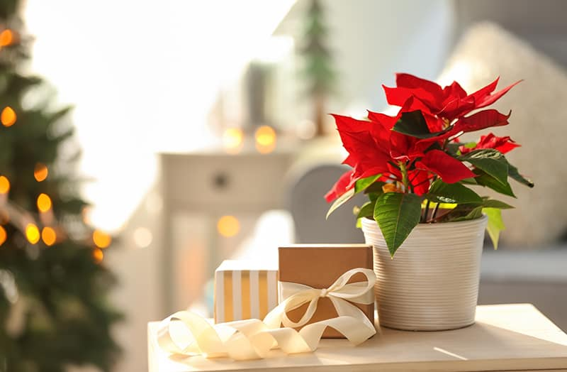 Poinsettia Types Selection And Care Tips Green And Vibrant