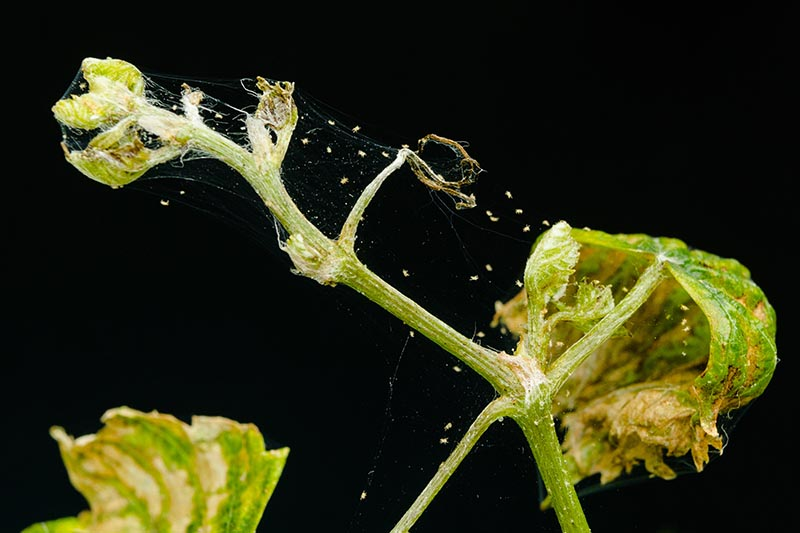 Spider Mites On Plants