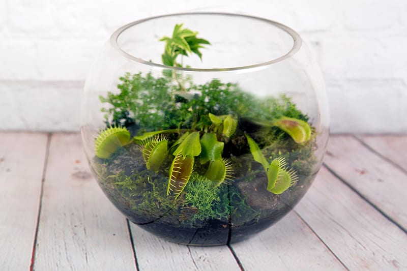 Terrarium Plants 17 Plants To Grow In Your Terrarium Green