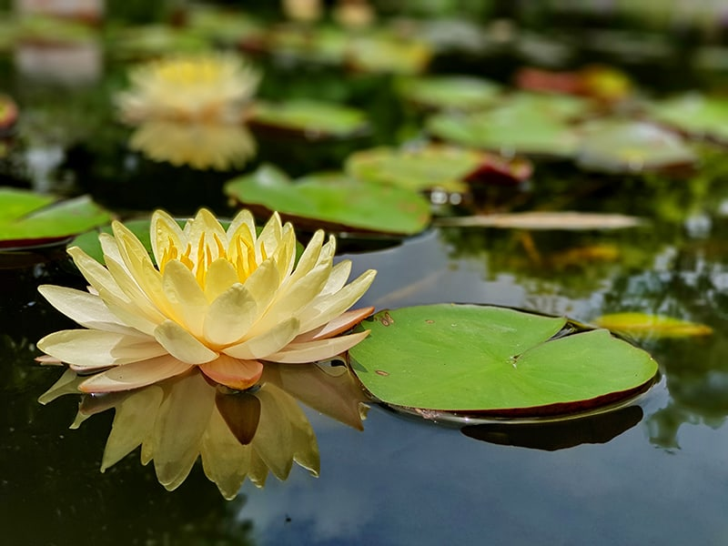 Water Lily Care Types Planting Growing Care Tips For
