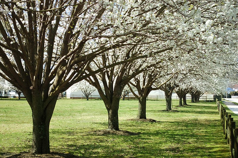 Types of Pear Trees