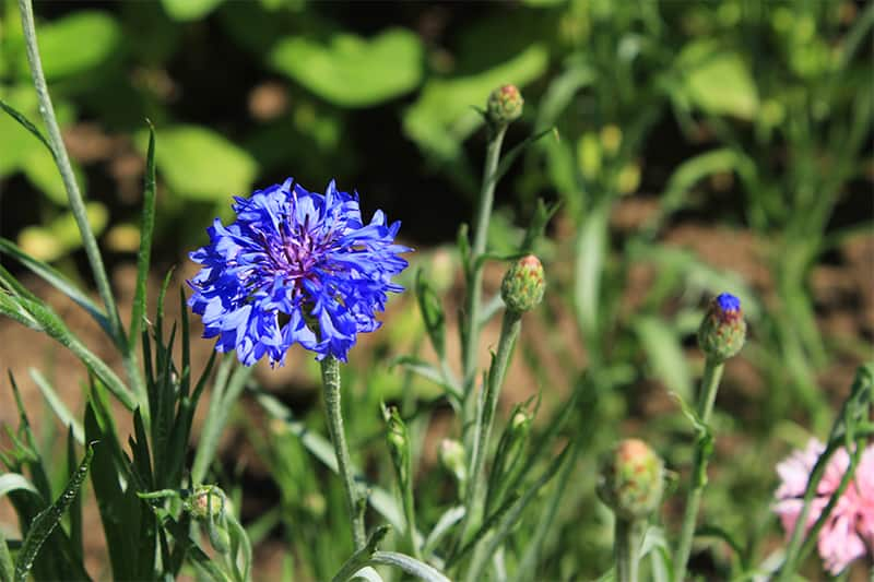 Types of blue flowers