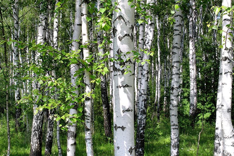 White Bark Trees