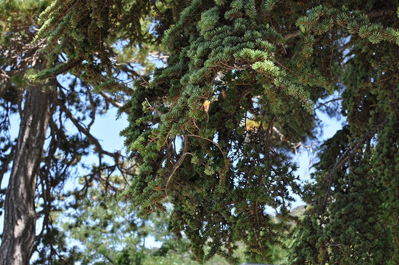Types of Cedar Trees