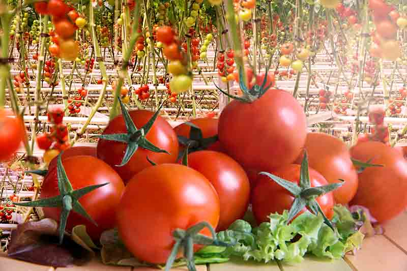 How to Grow Hydroponic Tomatoes | Green and Vibrant