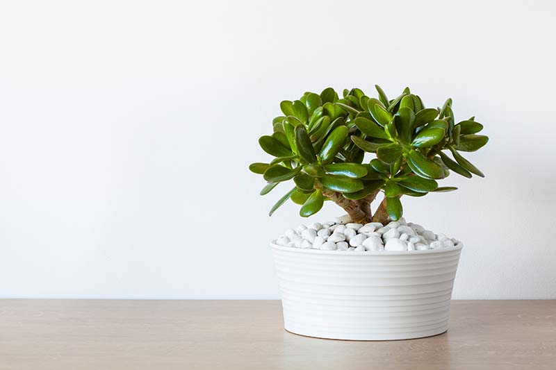 Jade Plant How To Grow And Care For Crula Ovata
