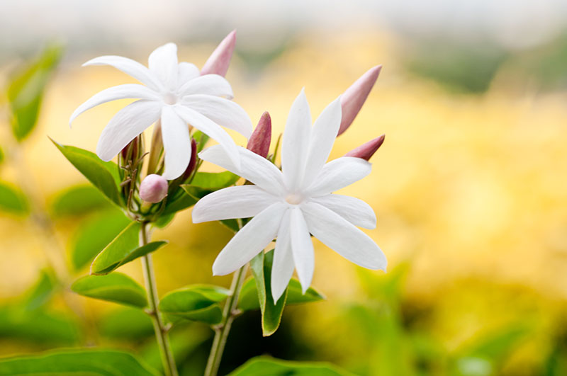 grow and care for jasmine plant jasminum green and vibrant