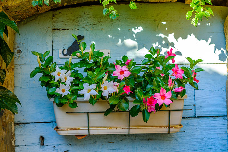 mandevilla plant in a box
