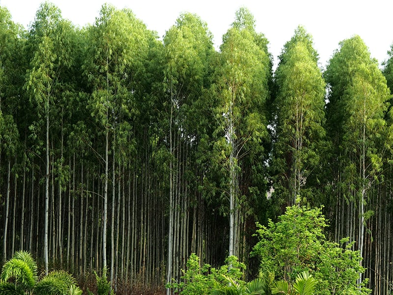 Types of Eucalyptus Trees