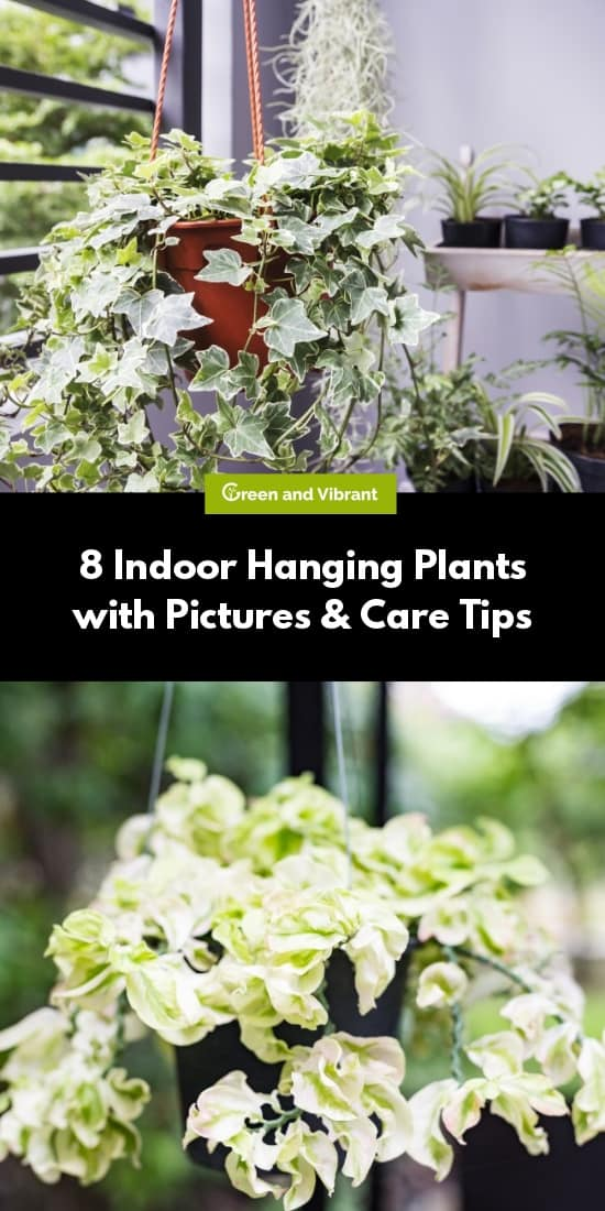 8 Indoor Hanging Plants with Pictures & Care Tips