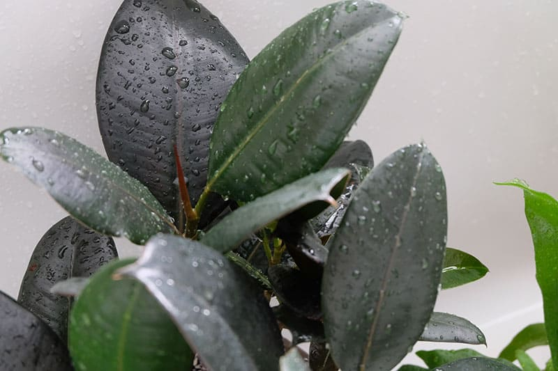 A Rubber plant (Ficus Elastica) with droplets of water