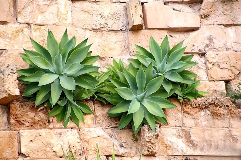 Agave attenuata plants growing on a brick wall
