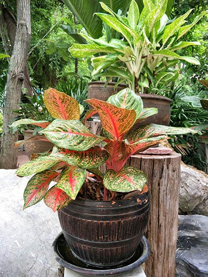 Aglaonema enjoys the light outdoors