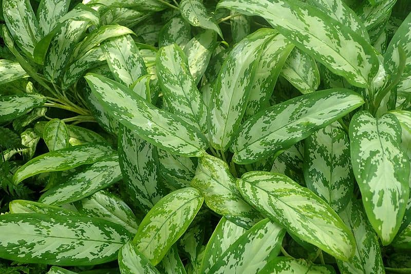 Aglaonema Silver King