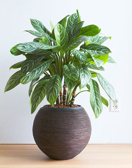 The Aglaonema enjoys moist soil.