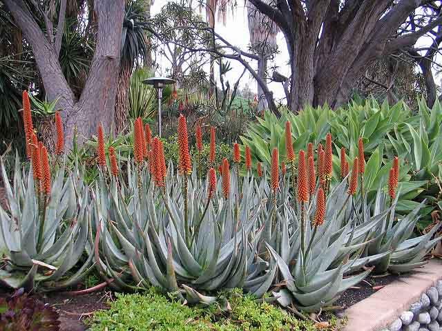 Aloe Petricola Stone