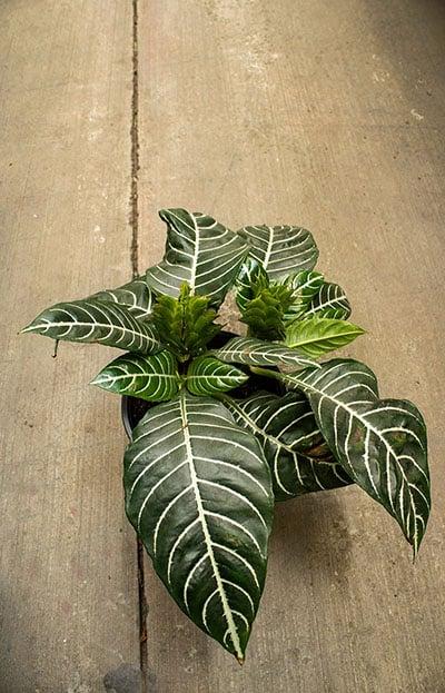 Ze Plant (Aphelandra Squarrosa) - Growing, Caring Tips ... on
