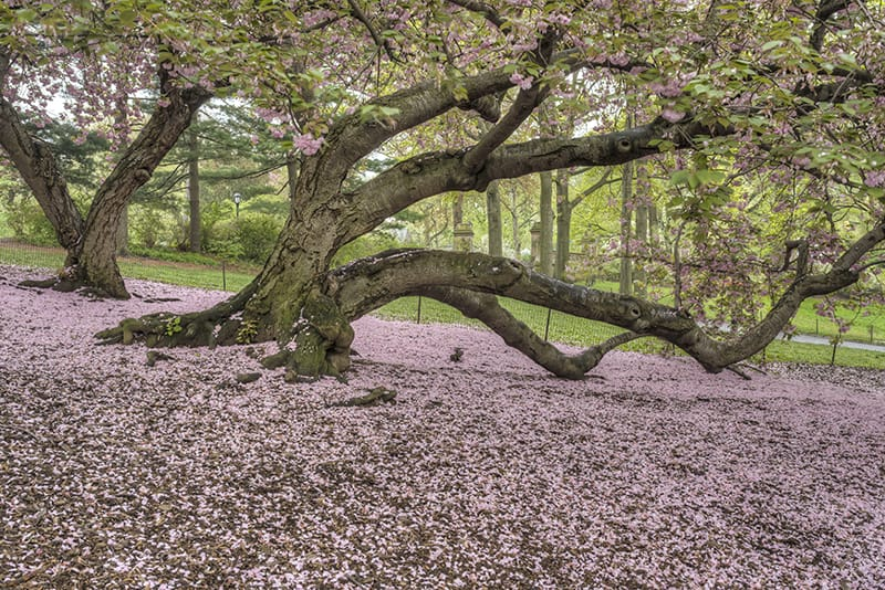 Plant Care 101 Kwanzan Cherry Tree Fastgrowingtrees Com