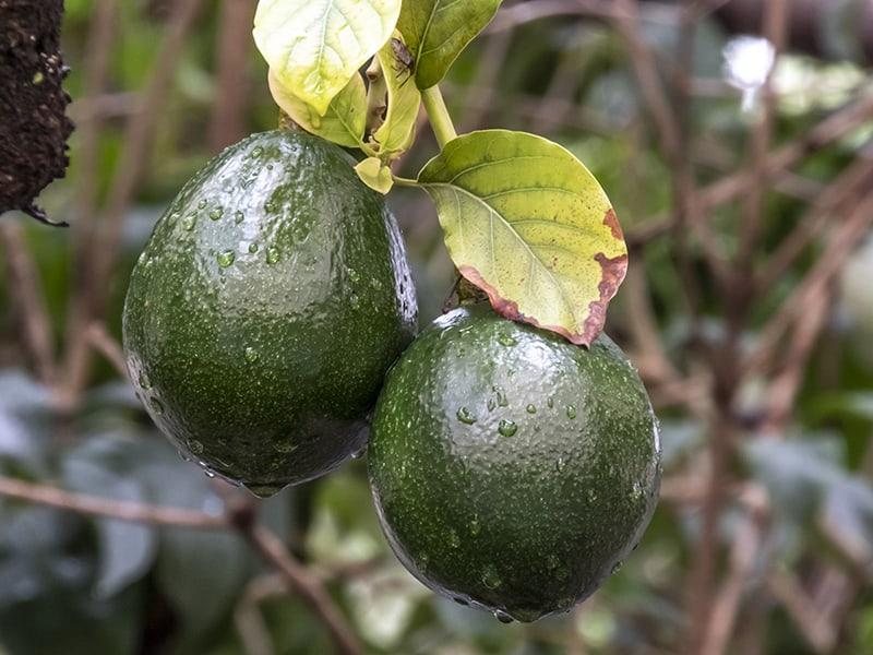 Avocado Watering