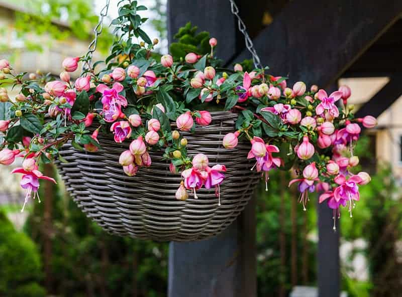 Beautiful fuchsia flowers hanging from the pot under the sunlight