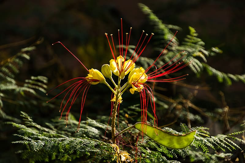 Bird of Paradise Shrub-Caesalpinia gilliesii