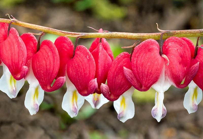 Bleeding heart flowers in red and white