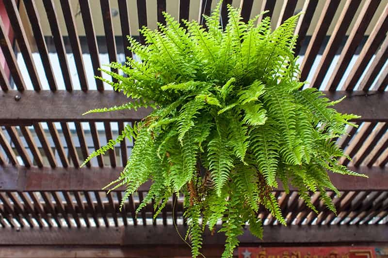Boston Fern needs bright indirect light