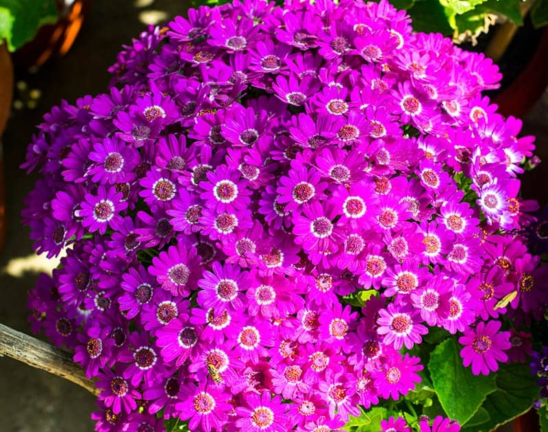 Bunch of Pink cineraria flowers are blossoming in park