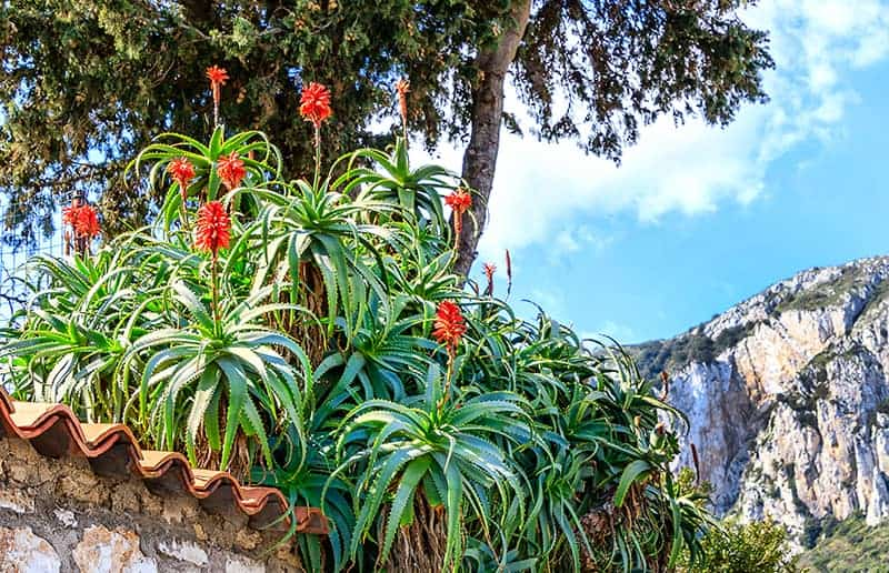 Capri landscape with flowering Aloe Arborescens