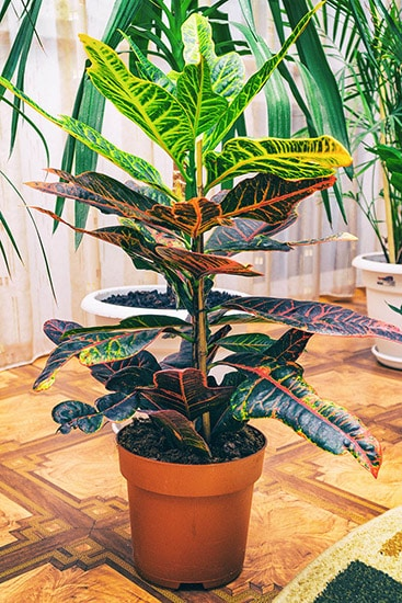 Caring for your Croton plant