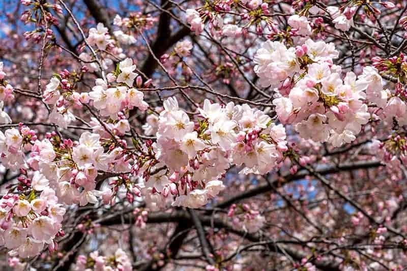 Yoshino Cherry Tree Growing Care Tips For Prunus X Yedoensis