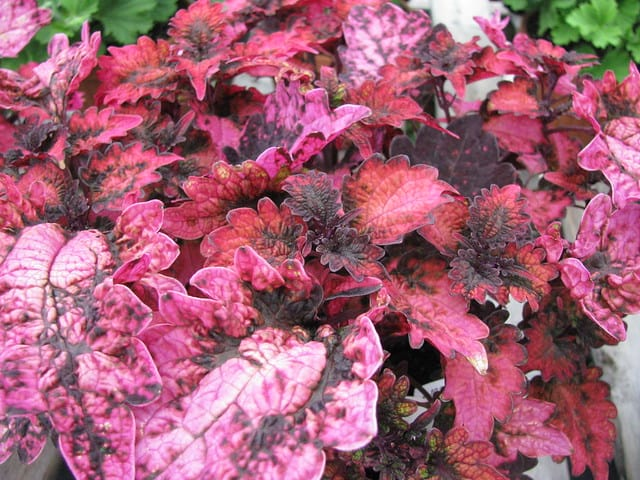 Coleus Florida Sun Rose