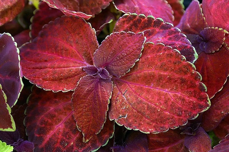 Coleus 'Superfine Rainbow'