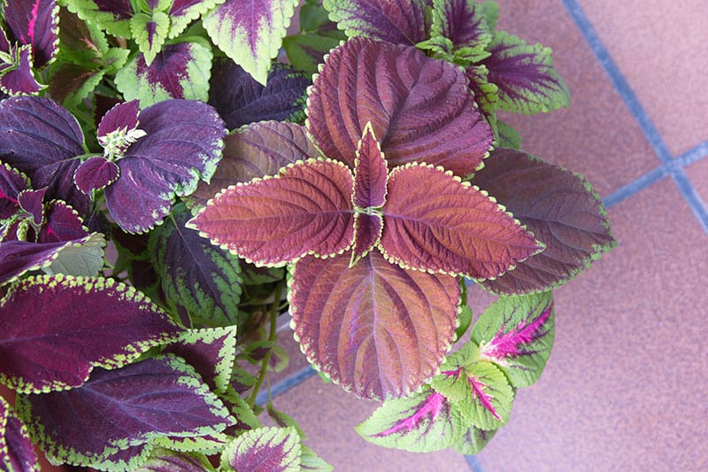 Coleus plant loves the shade