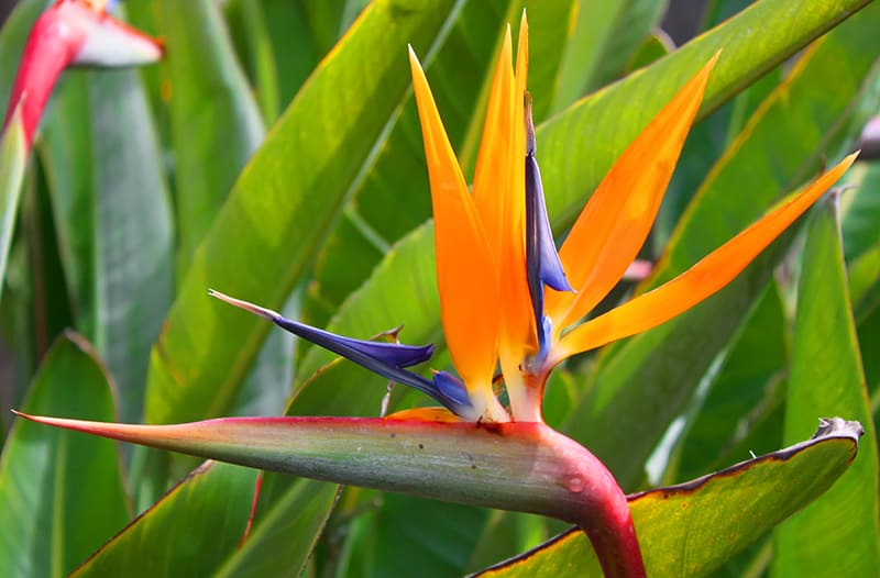Common Bird of Paradise-Strelitzia reginae